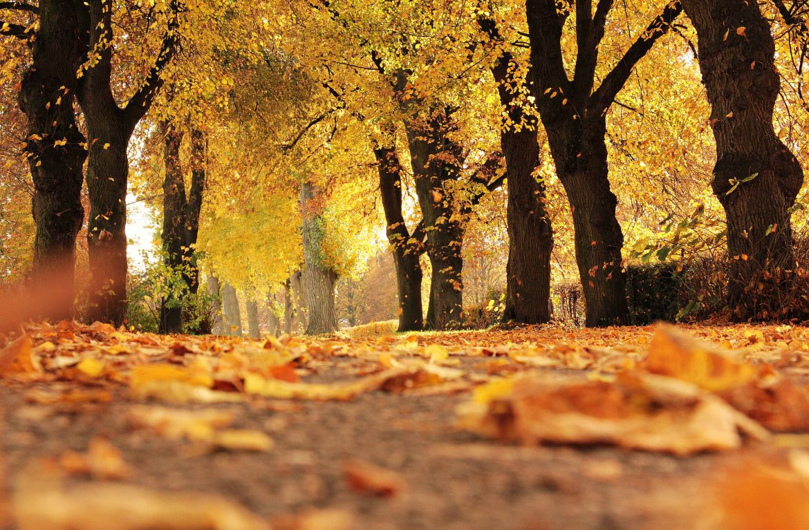 Golden autum leaves falling on a path